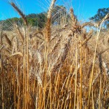Credit: Wheat Stalks by mrpbps