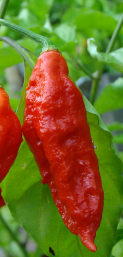 ... wings bhut jolokia wings jolokia wings recipes dishmaps bhut jolokia