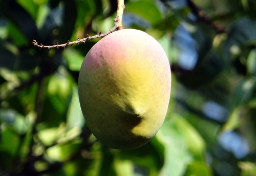 6 most expensive fruits in the world insider monkey - Five of the most expensive fruits in the world ...