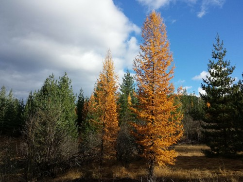 tamarack-trees-Idaho