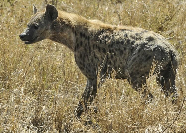 hyena-591880_1280