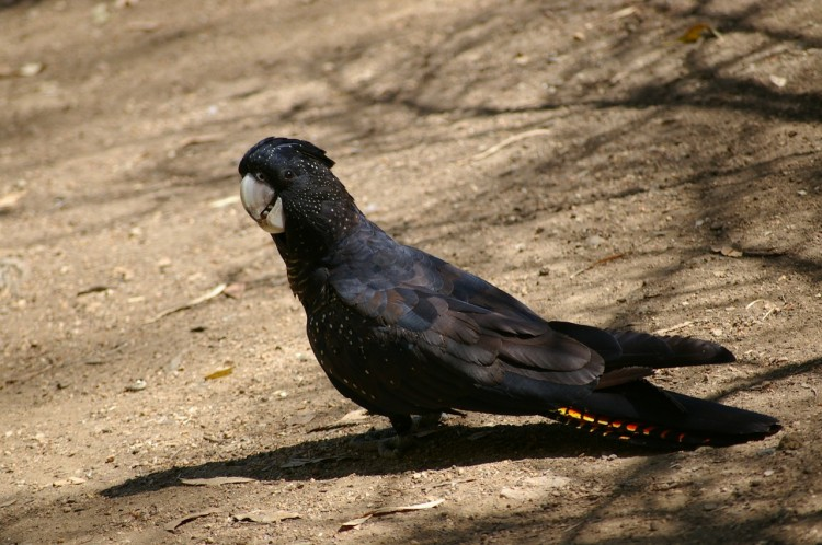 black-cockatoo-250859_1280