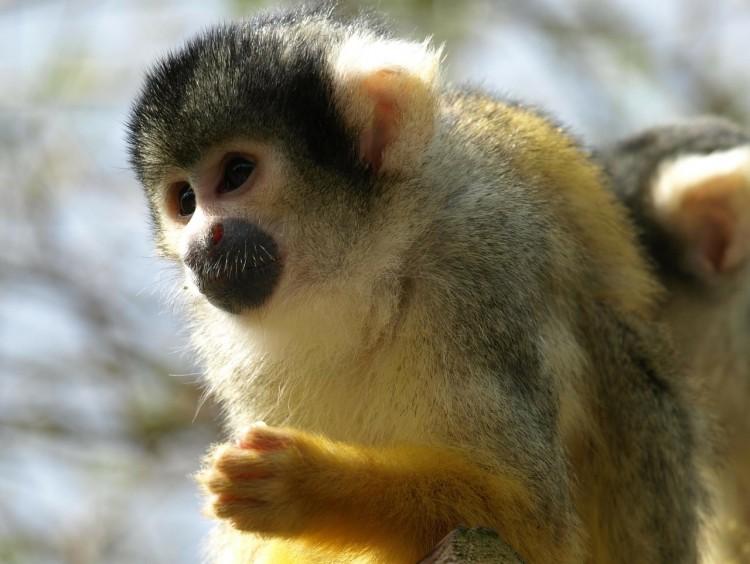 capuchin-327369_1280
