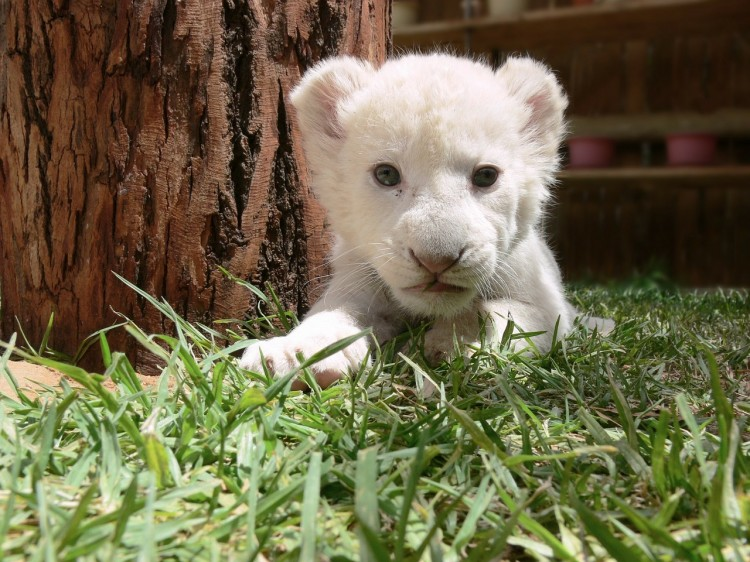 lion-219846_1280