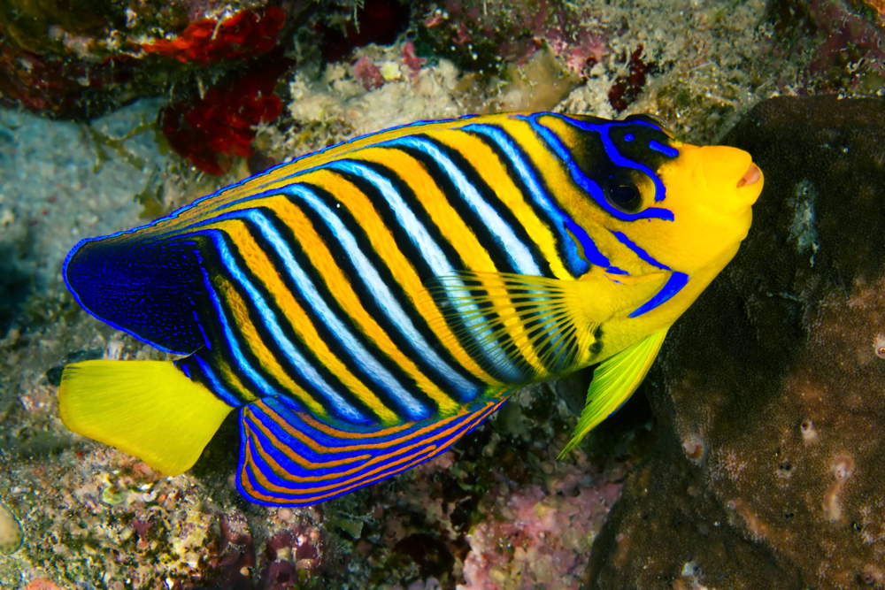 11 most expensive tropical fish in the world insider monkey for Most expensive saltwater fish