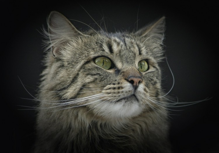 Cat Breeds That Are Natural Climbers