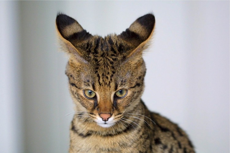 savannah-cat-518134_1280-750x500.jpg