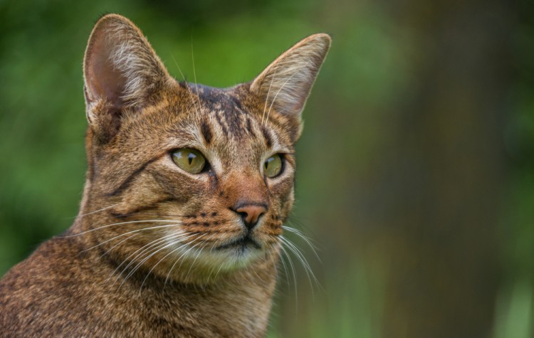 16 Most Expensive Cat Breeds In The World Insider Monkey