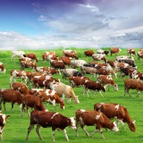 herd, meadow, grazing, natural, graze, beef, milk, agriculture, mammal, green, spring, cloud, brown, field, grass, drove, farm, village, black, female, family, farming, feeding, agricultural, livestock, dairy, breeding, pasture, manufacturing, cow, cattle, rural, sky, scenic, bull, udder, domestic, industry, nature, food, cloudscape, eating, hoofed, ranch, animal, landscape