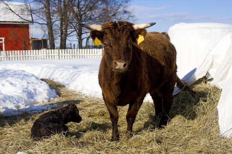 dexter, cow, birth, calf, grass, farm, dual-purpose, breed, rare, mini, spring, livestock, cattle, snow
