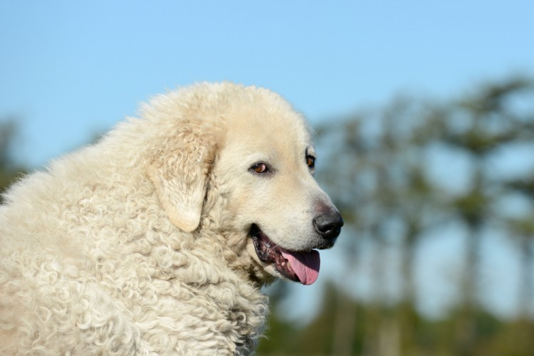 kuvasz, outdoor, breed, mammal, white, guardian, adult, pedigree, head, shepherd, flock, sheep, portrait, guarding, protection