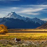 new, zealand, farm, cow, ranch, mount, southern, cook, sunset, meadow, tree, autumn, travel, view, yellow, scenery, grass, spectacular, alps, aoraki, range, pasture,