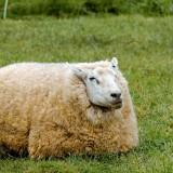 sheep-1324397_1280
